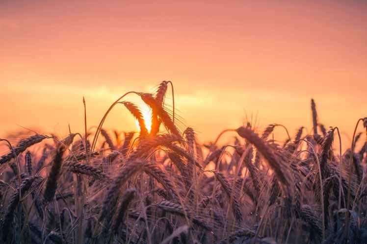abendstimmung agriculture back light cereal
